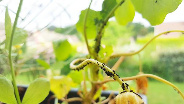 Mes plantes sont envahies par les pucerons!